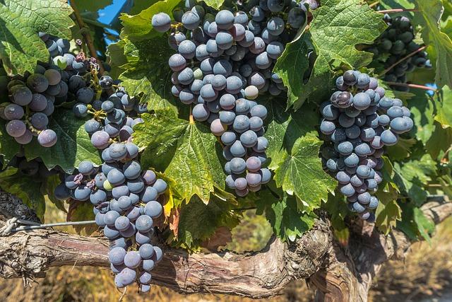 Comment se fait la production du vin?